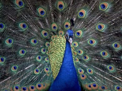 Indian_Blue_Peacock